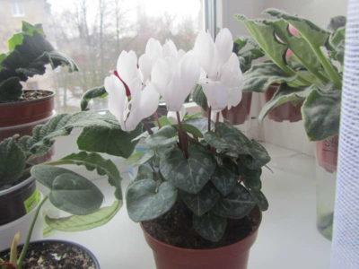 родина растения цикламен