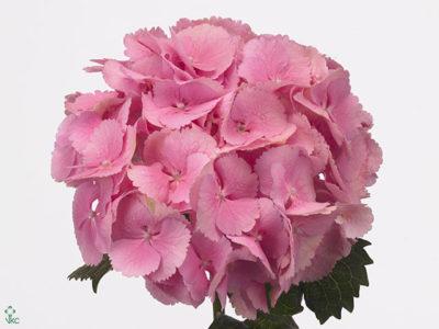 pink diamond гортензия