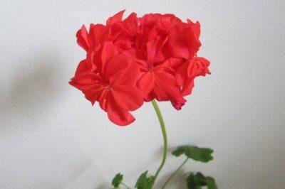 lotta lundberg пеларгония