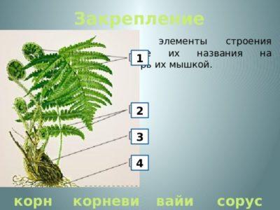 как размножаются папоротники