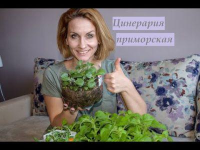 цинерария приморская выращивание из семян