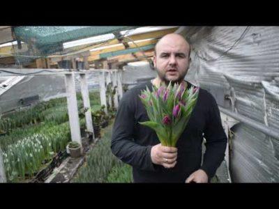 когда выкапывать тюльпаны на урале