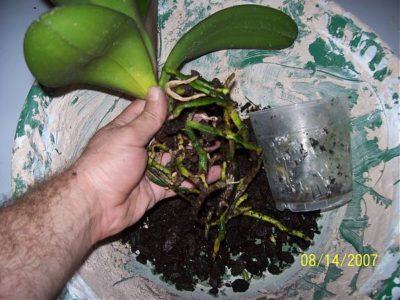 как укоренить орхидею фаленопсис
