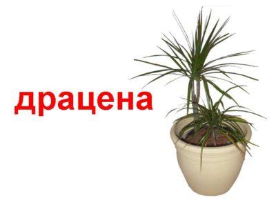 драконово дерево комнатное растение