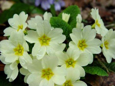 сколько цветет примула