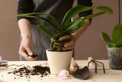 как пересадить орхидею в кору