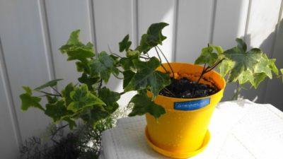 комнатное растение виноград