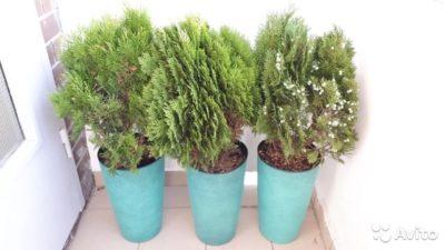 как посадить тую из семян