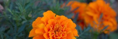 когда цветут бархатцы