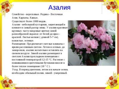 азалия родина растения