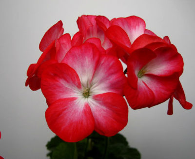 вива розита пеларгония