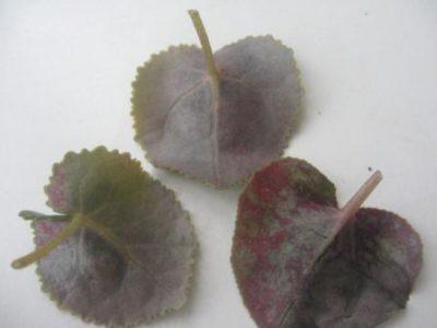 гортензия болезни листьев
