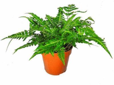 комнатное растение папоротник