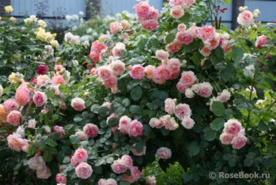 парковая роза посадка и уход в открытом грунте