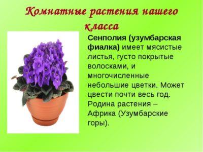 фиалка родина растения