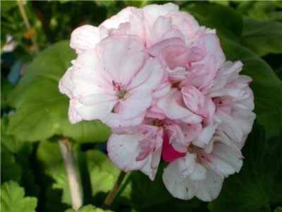 appleblossom rosebud пеларгония