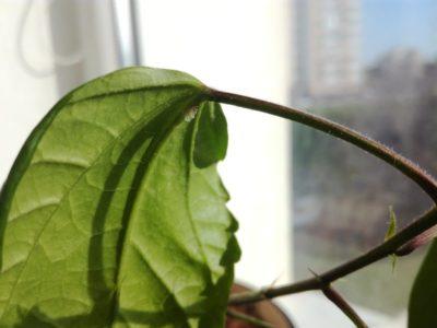 почему сохнут листья у комнатных растений
