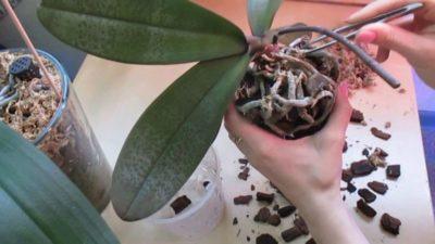 в какой горшок посадить орхидею