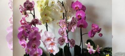 какого цвета бывают орхидеи