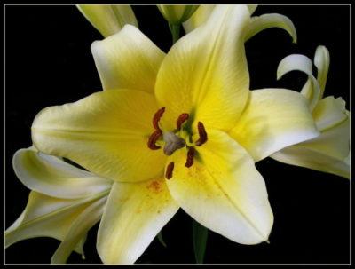 лилия цветок как ухаживать