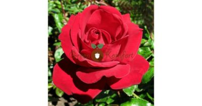 посадка чайно гибридных роз весной