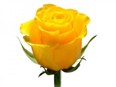 сорта желтых роз