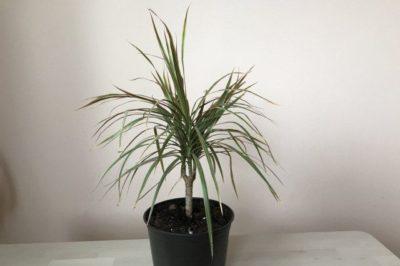 драцена родина растения