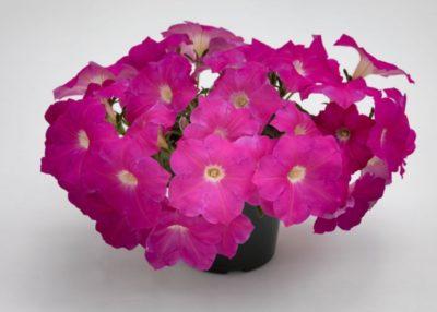 петуния пируэт роуз