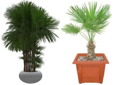 комнатные пальмовые растения