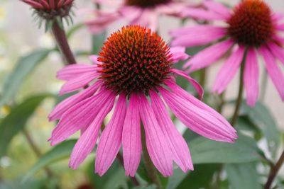 крупные многолетние цветы