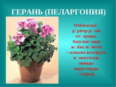 родина герани комнатного растения