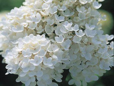гортензия белая метельчатая