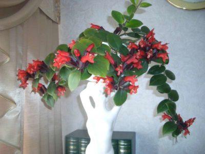 комнатные цветы эсхинантус