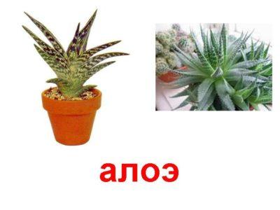 алоэ родина растения