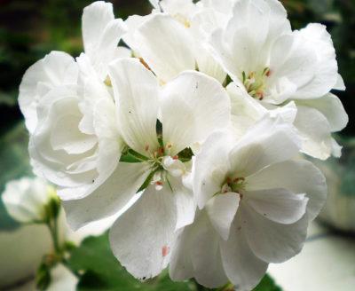 blue spring пеларгония
