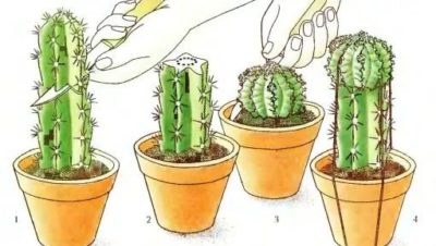как пересаживать кактусы в домашних условиях