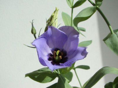 лизиантус выращивание из семян