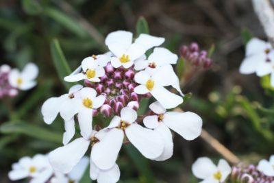 иберис выращивание из семян