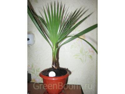 комнатные растения вашингтония