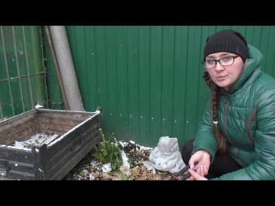 садовая гортензия подготовка к зиме