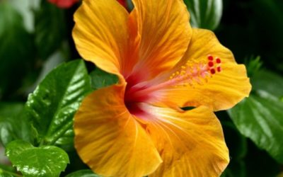 гибискус цветок смерти почему