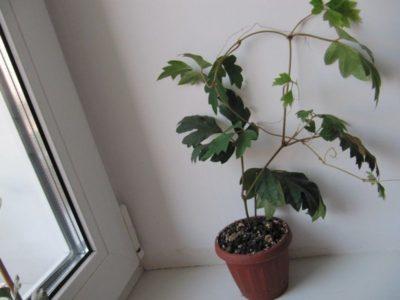 комнатный цветок циссус