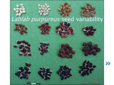 как вырастить гиацинт из семян