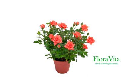 роза кордана микс уход