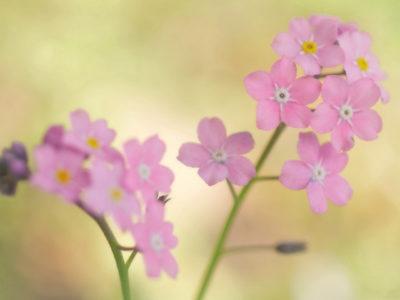 гипсофила ползучая розовая