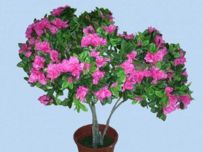 сколько цветет азалия