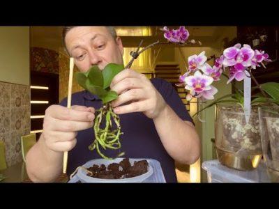 как понять когда поливать орхидею