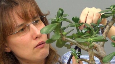 как прищипывать денежное дерево