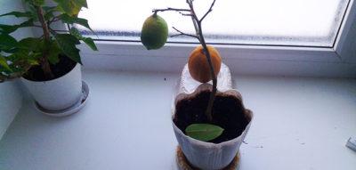 почему у лимона желтеют листья