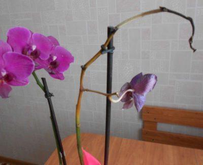 можно ли пересаживать орхидею с цветоносом